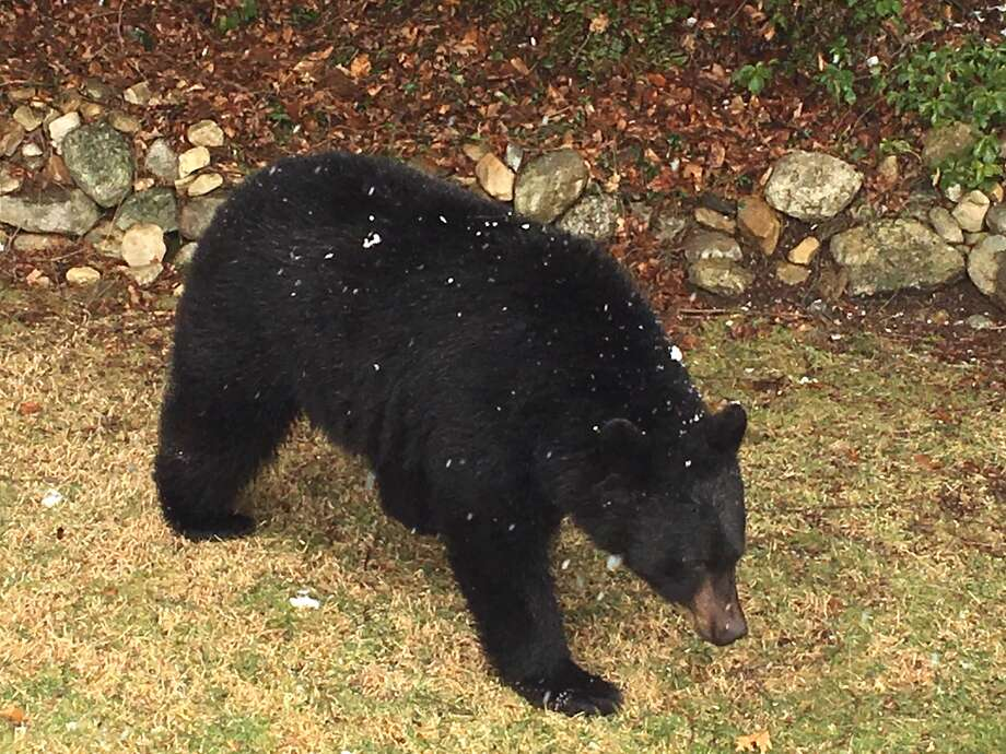 A black bear was sighted in New Milford on March 13, 2018. Photo: Simon Melzer