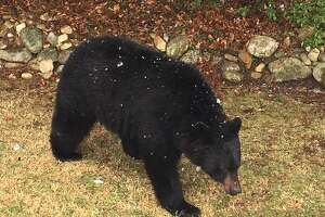 A black bear was sighted in New Milford on March 13, 2018.