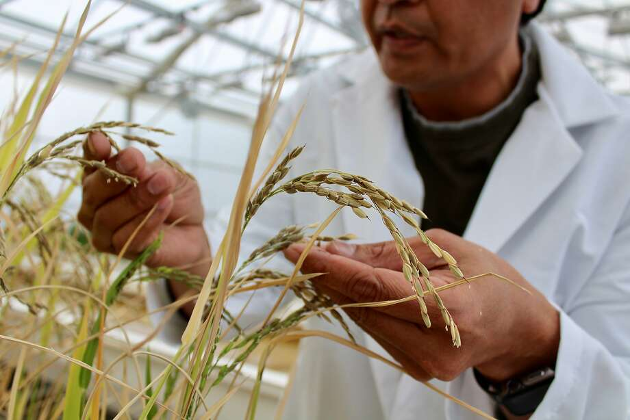 A scientist checks out experimental rice varieties at Lundberg Farms, which specializes in rice, quinoa, and other ancient grains. Photo: Harriot Manley, Special To The Chronicle