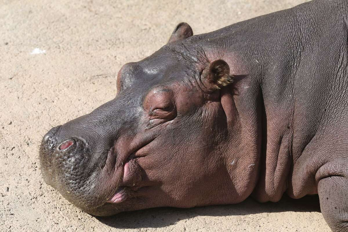 Timothy the hippo basks in the sun when he's not living his best life in the water.