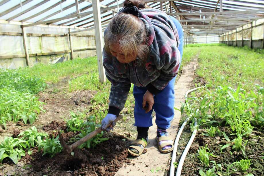 : Pheap Phoeur, a farmer in the Rosharon community known as The Village, grows water spinach as a cash crop. The community lost most of its crops to Harvey flooding. Fiive months later, they continue to rebuild.