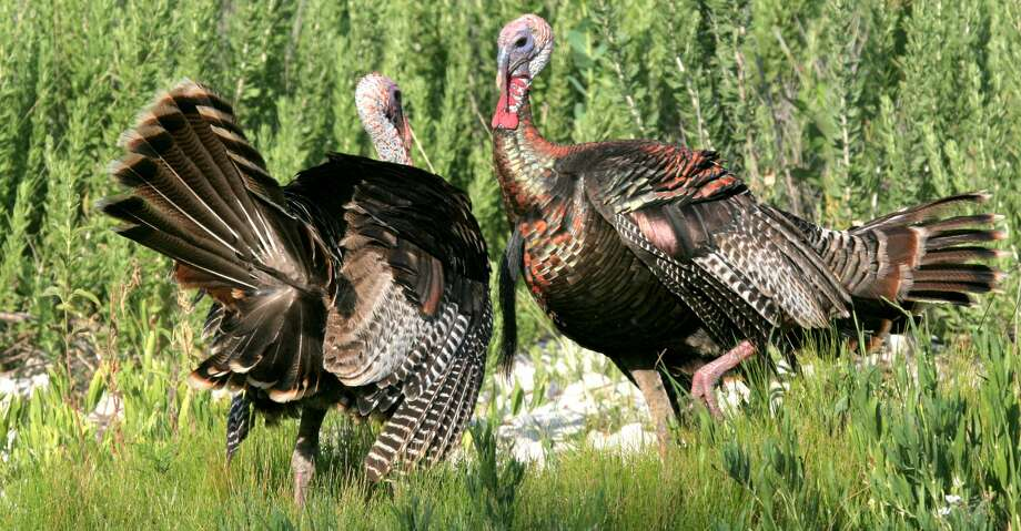 A pair of adult Rio Grande wild turkey gobblers square off in a battle to determine dominance during the bird's spring mating season. Dry conditions in parts of Texas could blunt mating efforts this year, making it tougher for hunters to call birds during the spring turkey season opening March 17 in the state's South Zone. Photo: Shannon Tompkins/Houston Chronicle