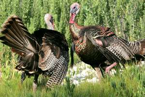 A pair of adult Rio Grande wildturkeygobblers square off in a battle to determine dominance during the bird's spring mating season. Dry conditions in parts of Texas could blunt mating efforts this year, making it tougher for hunters to call birds during the springturkey opening March 17 in the state's South Zone.