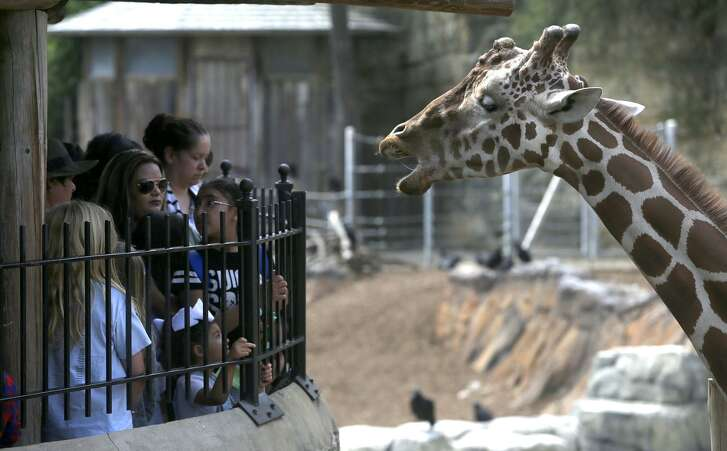 """A crowd of people enjoys the presence of a giraffe Wednesday during spring break at the San Antonio Zoo. The zoo has """"gotten close"""" to its maximum daily attendance of 10,000 guests in the last couple of days, spokesman Chuck Cureau said."""