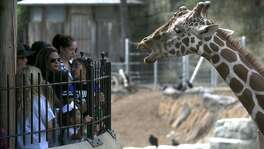 "A crowd of people enjoys the presence of a giraffe Wednesday during spring break at the San Antonio Zoo. The zoo has ""gotten close"" to its maximum daily attendance of 10,000 guests in the last couple of days, spokesman Chuck Cureau said."