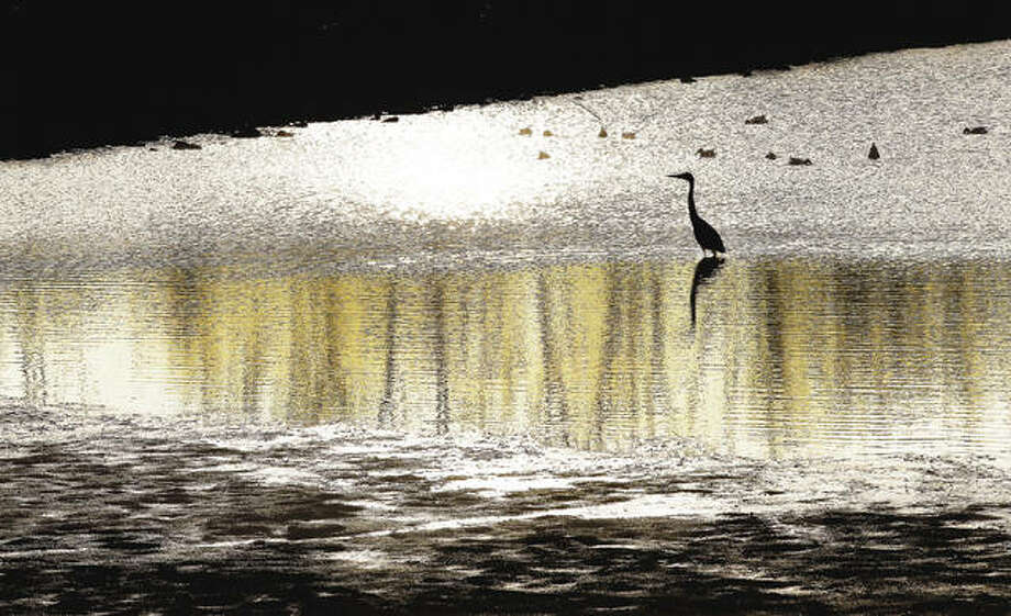 A great blue heron standing in shallow water is the picture of serenity as the sun came up in the eastern sky. Photo: John Badman | The Telegraph