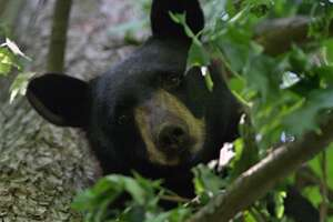 A black bear spotted on Oenoke Lane in New Canaan, Conn.