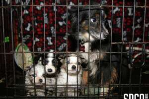 The Texas SPCA and Van Zandt County officials rescues 72 animals from an alleged puppy mill in Canton, Texas, on March 15, 2018.