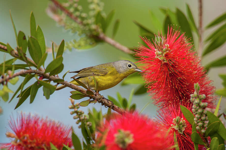 Neotropical migrants, like this Nashville warbler, are arriving in the area from the tropics.  Photo: Kathy Adams Clark / Kathy Adams Clark/KAC Productions