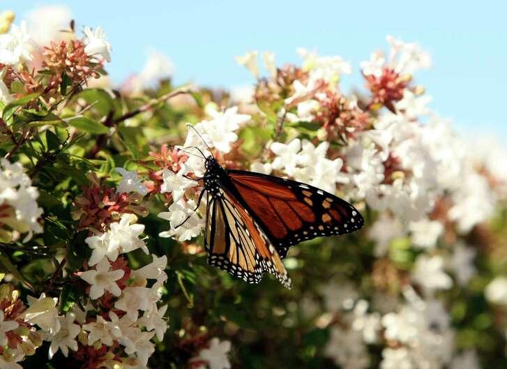 A monarch butterfly pollenates an Abelia bush.