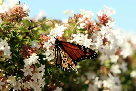 A monarch butterfly pollenates an Abelia bush.
