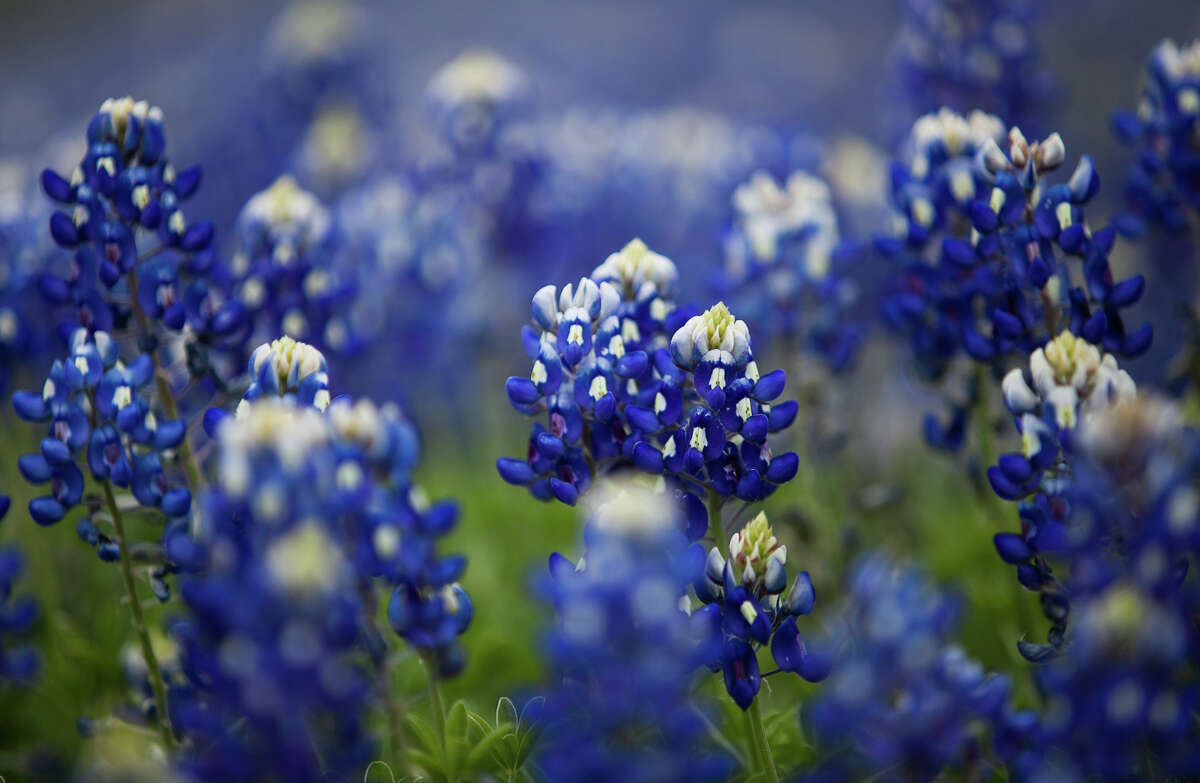 Expect to see lots of bluebonnets on your drive to Chappel Hill for the Bluebonnet Festival.