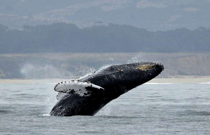 FILE - In this Aug. 7, 2017 file photo, a humpback whale breeches off Half Moon Bay, Calif. Environmental groups and tribes say the federal government is failing to follow the law on protecting humpback whales in a lawsuit filed Thursday, March 15, 2018. (AP Photo/Eric Risberg,File)