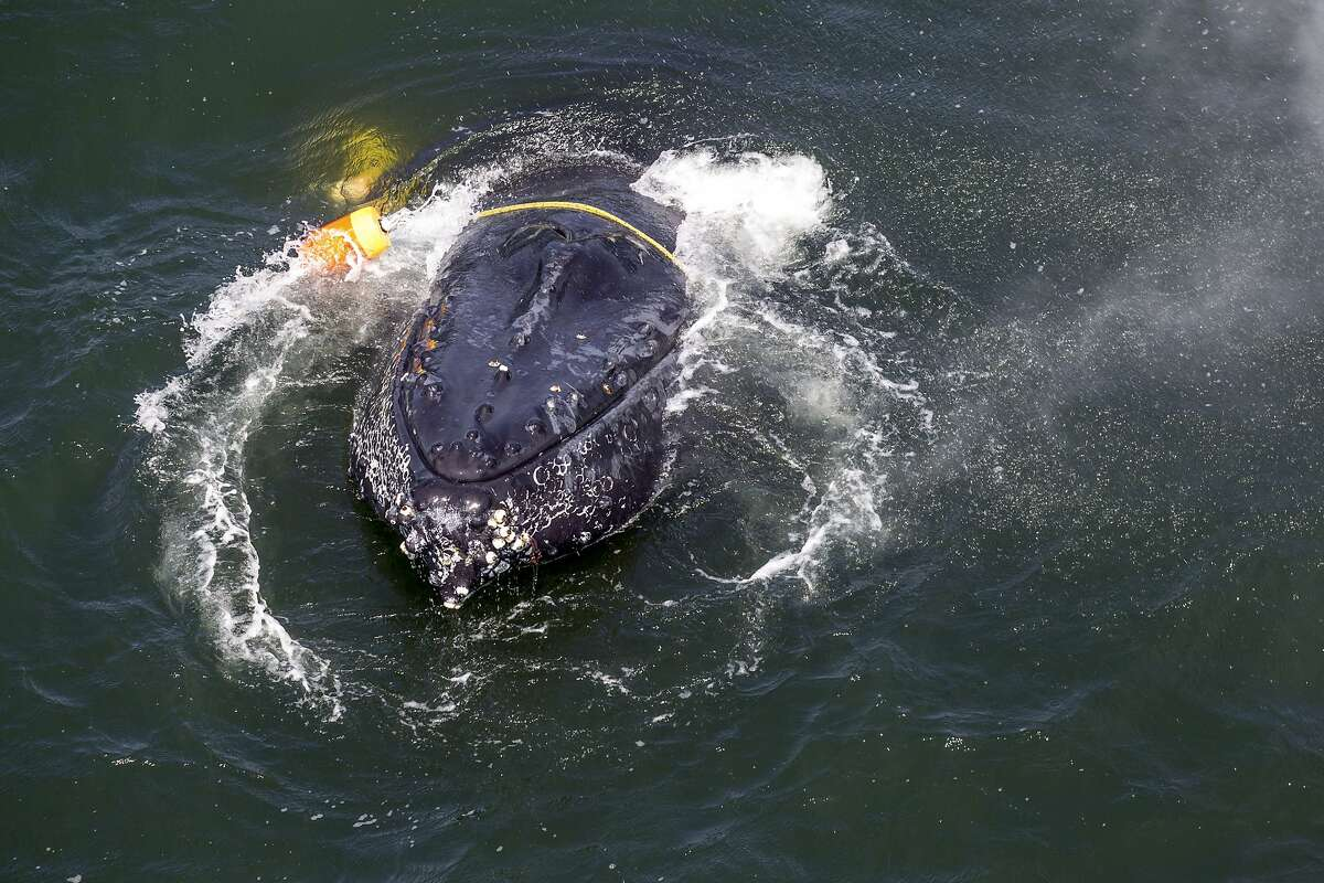 FILE - This undated file photo provided by the National Oceanic and Atmospheric Administration shows a humpback whale entangled in fishing line, ropes, buoys and anchors in the Pacific Ocean off Crescent City, Calif. Environmental groups and tribes say the federal government is failing to follow the law on protecting humpback whales in a lawsuit filed Thursday, March 15, 2018. (Bryant Anderson/NOAA Fisheries MMHSRP Permit# 18786-01 via AP, File)