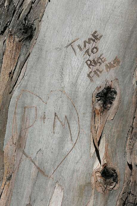 Carvings on a tree at Billy Goat Hill. Photo: Liz Hafalia, The Chronicle