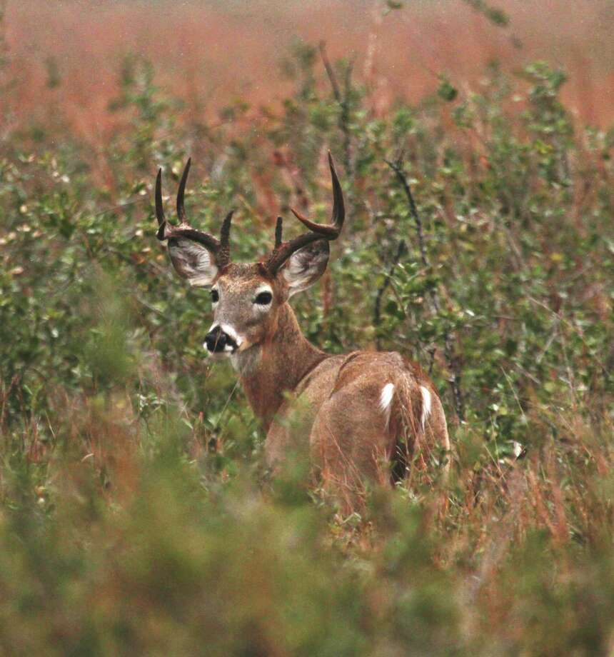 White-tailed deer are the most popular game animal in Texas. Photo: Shannon Tompkins / Houston Chronicle