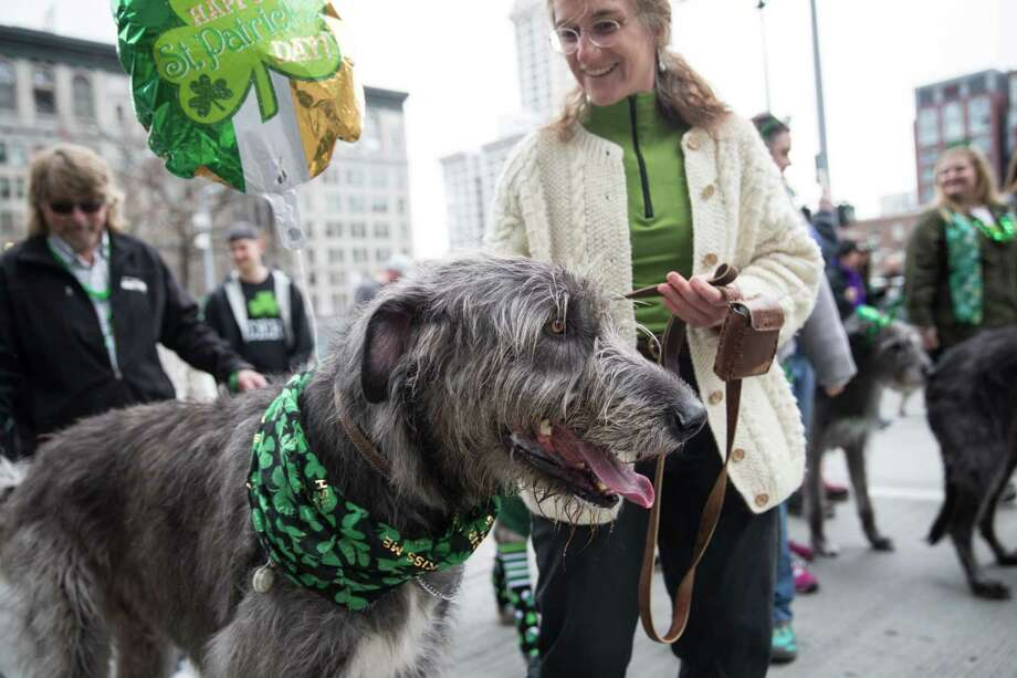 An Irish wolfhound takes a breather with its owner during Seattle's annual St. Patrick's Day parade on Saturday, March 17, 2018. Photo: GRANT HINDSLEY, SEATTLEPI.COM / SEATTLEPI.COM