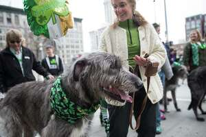 An Irish wolfhound takes a breather with its owner during Seattle's annual St. Patrick's Day parade on Saturday, March 17, 2018.