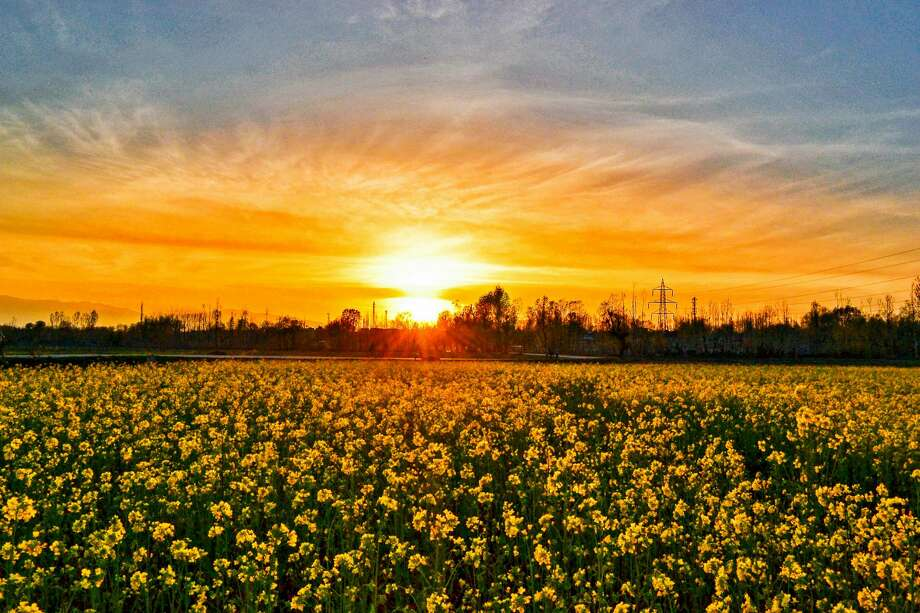 The sun sets over the mustard fields on the outskirts of Srinagar, Indian administered Kashmir. According to the Directorate of Agriculture, the Kashmir valley comprising six districts has an estimated area of 65 thousand hectares of paddy land under mustard cultivation, which is about 40 per cent of the total area under paddy. Photo: SOPA Images/LightRocket Via Getty Images