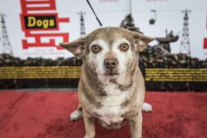"Human and canine guests attend an advance screening of ""Isle of Dogs"" at the Roxie Theatre in San Francisco on Monday, March 19 at 7:00pm."