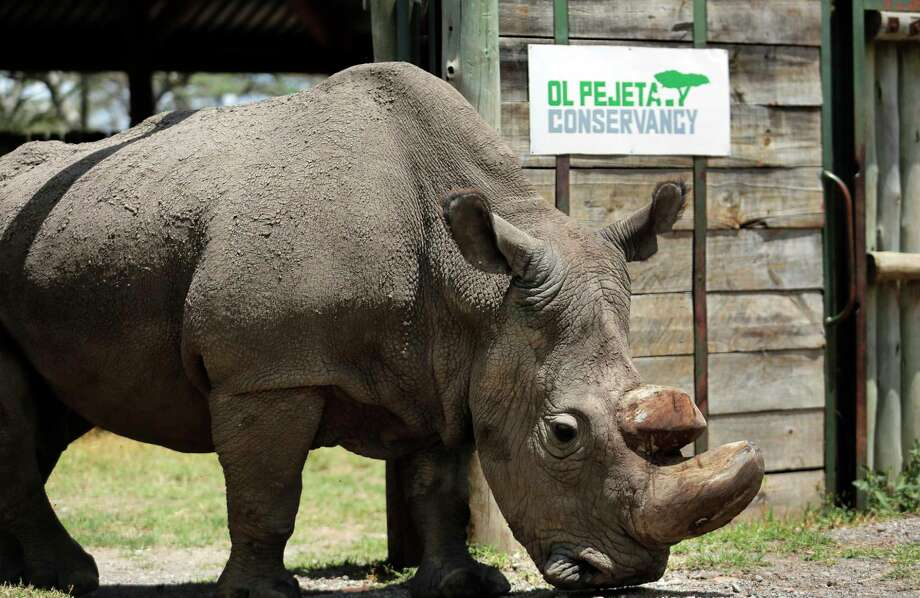 "FILE - In this Wednesday, May 3, 2017, file photo, Sudan, the world's last male northern white rhino, is photographed at the Ol Pejeta Conservancy in Laikipia county in Kenya. Researchers say Sudan has died after ""age-related complications."" A statement from the Ol Pejeta Conservancy in Kenya says the 45-year-old rhino was euthanized Monday, March 19, 2018, after his condition ""worsened significantly"" and he was no longer able to stand. Photo: STR, AP / Copyright 2018 The Associated Press. All rights reserved."