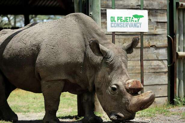 """FILE - In this Wednesday, May 3, 2017, file photo, Sudan, the world's last male northern white rhino, is photographed at the Ol Pejeta Conservancy in Laikipia county in Kenya. Researchers say Sudan has died after """"age-related complications."""" A statement from the Ol Pejeta Conservancy in Kenya says the 45-year-old rhino was euthanized Monday, March 19, 2018, after his condition """"worsened significantly"""" and he was no longer able to stand."""
