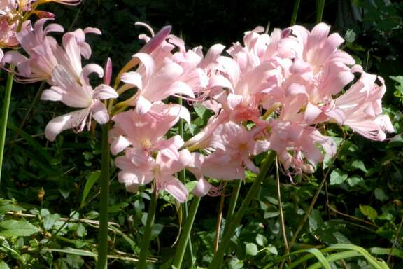 Like many of the fall-flowering bulbs, this one (Lycoris squamigera, also known as naked lady lily) produces its foliage in late fall and over the winter. The leaves then die down in the spring. The flowers emerge in late summer or early fall.