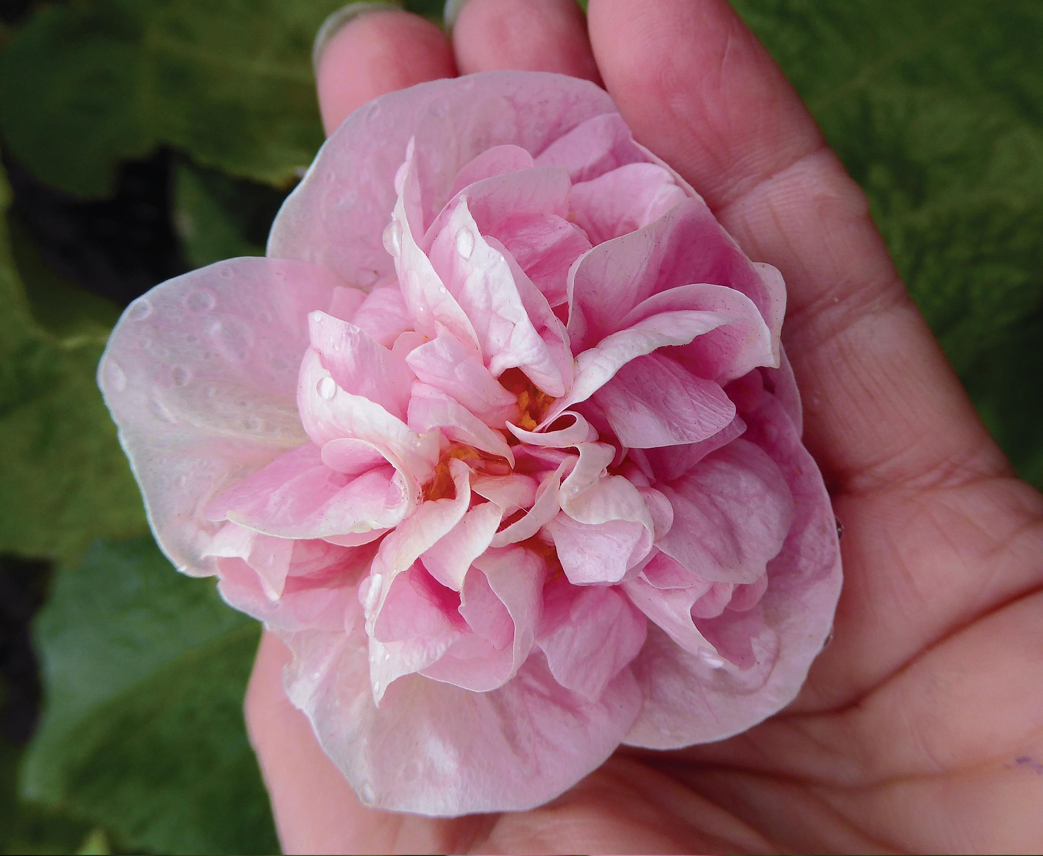 Double Flowers Twice As Nice In Pink Victorian Lady Abutilon