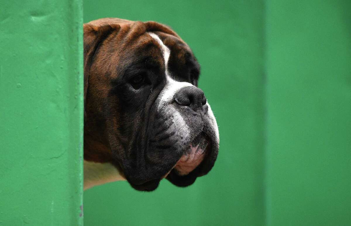 A Boxer looks out from its stall on the first day of the Crufts dog show at the National Exhibition Centre in Birmingham, central England, on March 8, 2018.