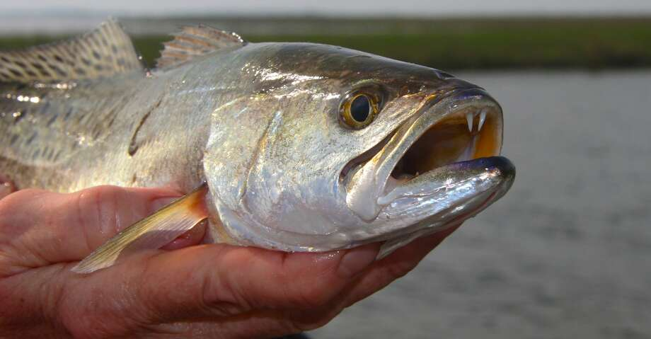 Texas' bays are alive with signs of spring, some of which point observant anglers to encounters with inshore fish such as this speckled trout caught from a school greedily feeding on mullet, bay anchovies and small shrimp carried to them by an outgoing tide. Photo: Shannon Tompkins/Houston Chronicle