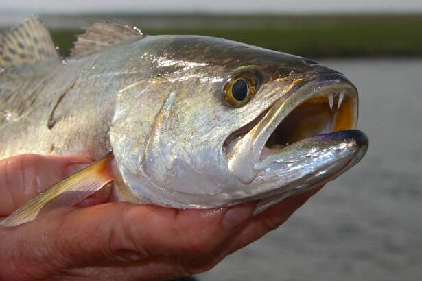 Texas' bays are alive with signs of spring, some of which point observant anglers to encounters with inshore fish such as this speckled trout caught from a school greedily feeding on mullet, bay anchovies and small shrimp carried to them by an outgoing tide.