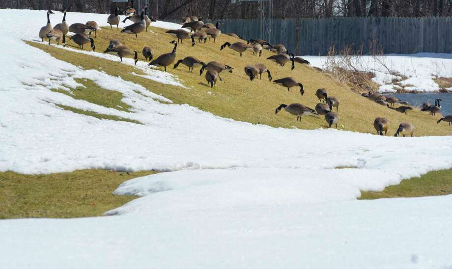 Surrounded by snow, geese graze on a patch of bare grass in Jeff Blatnick Park on Thursday, March 22, 2018, in Niskayuna, N.Y. (Paul Buckowski/Times Union) Photo: STAFF, Albany Times Union / (Paul Buckowski/Times Union)