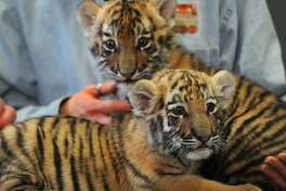 Amur tiger cub sisters Zeya and Reka made their press debut at Beardsley Zoo in Bridgeport in January. They will make their public debut in the next few weeks.