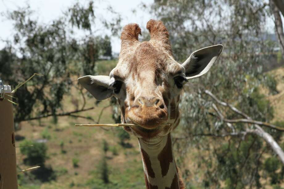 Rosie the giraffe died on March 20, 2018 in her enclosure at Six Flags Discovery Kingdom in Vallejo, Calif. A spokesperson for the theme park said the giraffe had struggled with health issues since birth. Photo: Courtesy Of Six Flags Discovery Kingdom