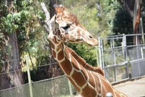 Rosie the giraffe died on March 20, 2018 in her enclosure at Six Flags Discovery Kingdom in Vallejo, Calif. A spokesperson for the theme park said the giraffe had struggled with health issues since birth.