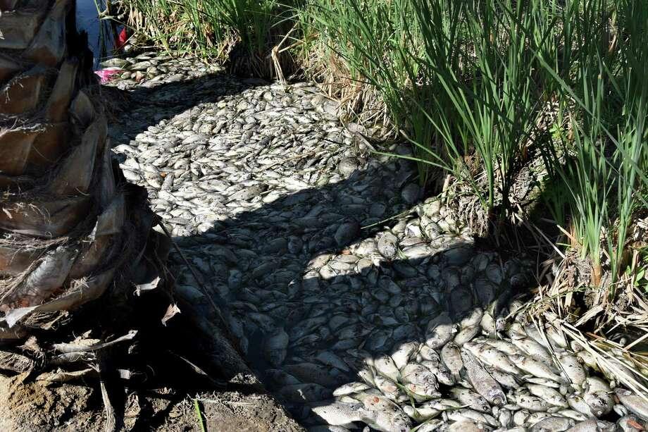 Cientos de peces aparecieron muertos el miércoles 21 de marzo de 2018 en un arroyo estrecho del lago en los apartamentos Lago Del Mar. Photo: Christian Alejandro Ocampo /Laredo Morning Times / Laredo Morning Times
