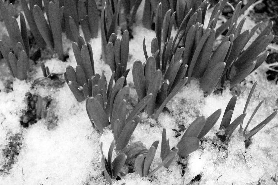 Daffodils push through the snow. Photo: Genevieve Reilly / Hearst Connecticut Media / Fairfield Citizen