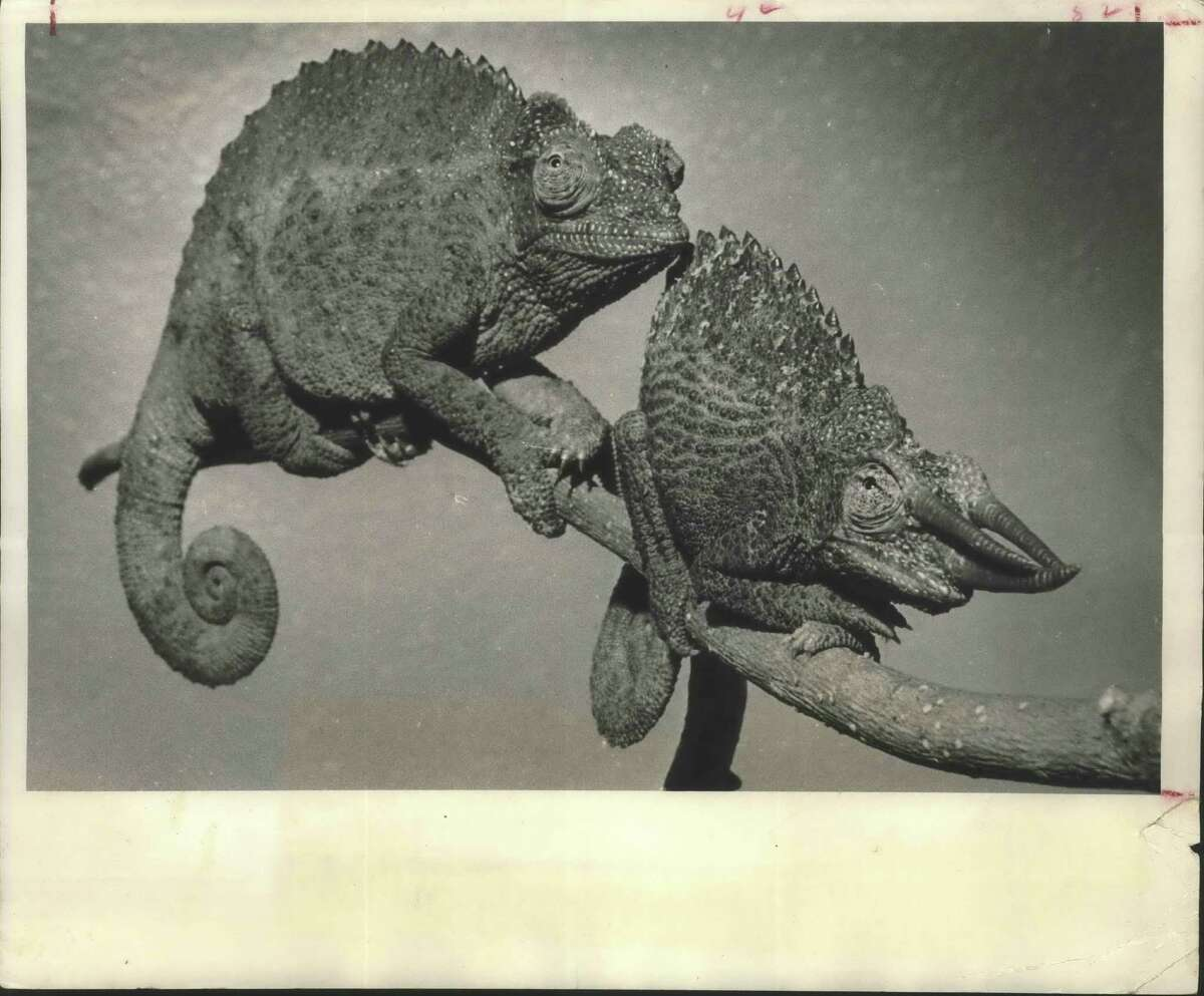 CIRCA 1970: The creature at left might be unattractive to you, but she's beautiful to that fellow with the formidable horns. They're African Jackson's chameleons, a man named Jackson having discovered them, says John Werler, curator of the Houston Zoo. He calls them the most unusual of all the lizard family. Most lizards lay eggs. These give birth to live babies. Their eyes act independently; one can look forward while the other looks backward. Their tongues are as long as the combined length of head and body, and shoots out to capture insects almost faster than the eye can see. They're cold weather creatures, these being found on Mount Kenya in East Africa. The zoo's three females and one male are on display in the reptile house. Houston Zoo, Houston, Texas