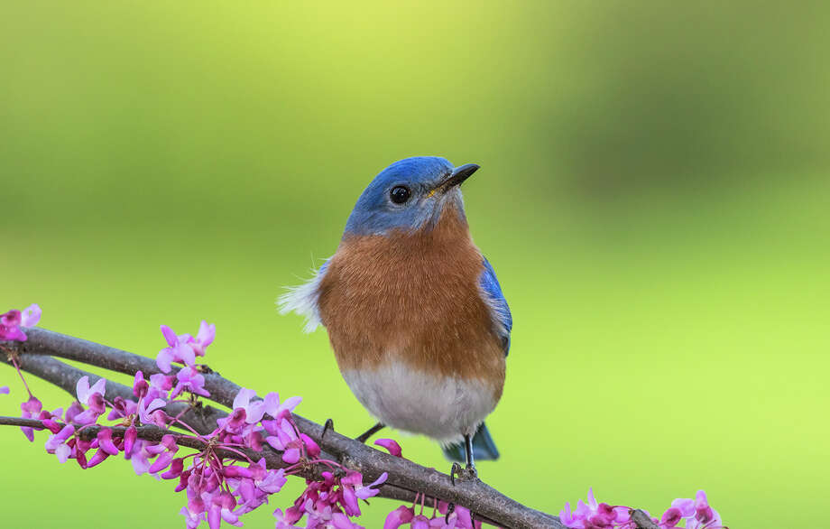 Birds, like this eastern bluebird, are filling the area with song. Photo: Kathy Adams Clark / Kathy Adams Clark