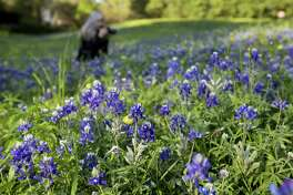 Theresa DiMenno photographs bluebonnets in Terry Hershey Park on Thursday, March 22, 2018, in Houston. ( Brett Coomer / Houston Chronicle )