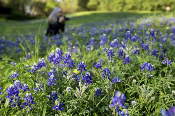 Theresa DiMenno photographs bluebonnets in Terry Hershey Park on Thursday, March 22, 2018, in Houston. ( Brett Coomer / Houston Chronicle )