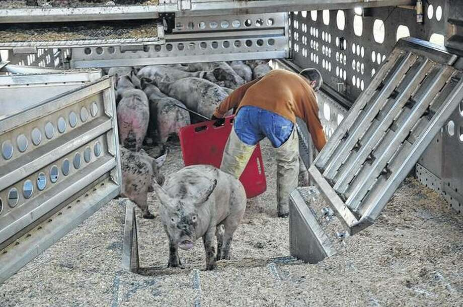 Dust, hair, dander and other allergens can abound in any closed-in livestock environment. Photo: David Blanchette | Journal-Courier