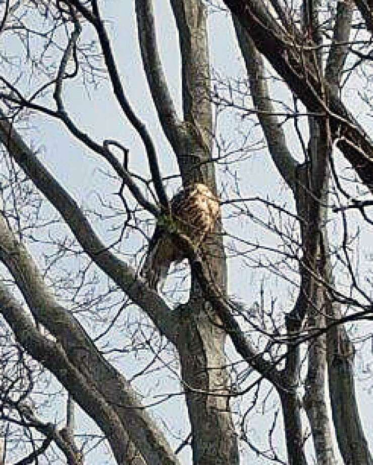 A photo from 2016 shows a hawk in a tree on Sycamore Lane. Photo: Contributed / Contributed Photo / Fairfield Citizen