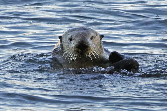 FILE--In this Jan. 15, 2010, file photo, a a sea otter is seen in Morro Bay, Calif. A federal appeals court has upheld a decision by federal wildlife officials to end a program to relocate endangered sea otters off the California coast. The 9th U.S. Circuit Court of Appeals on Thursday, March 1, 2018, rejected lawsuits by fishing industry groups that argued Congress required the U.S. Fish and Wildlife Service to continue the program indefinitely. (AP Photo/Reed Saxon, file)