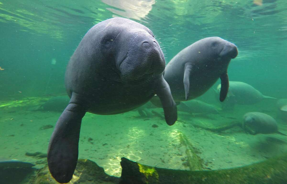 Manatees find refuge in the warm waters of Blue Spring located at Blue Spring State Park, Orange City, Fla., in a 2015 file image. Manatees, which recently were moved from the U.S. endangered list to the less dire status of threatened, appear on track to survive through the coming century, according to federal experts. (Red Huber/Orlando Sentinel/TNS)