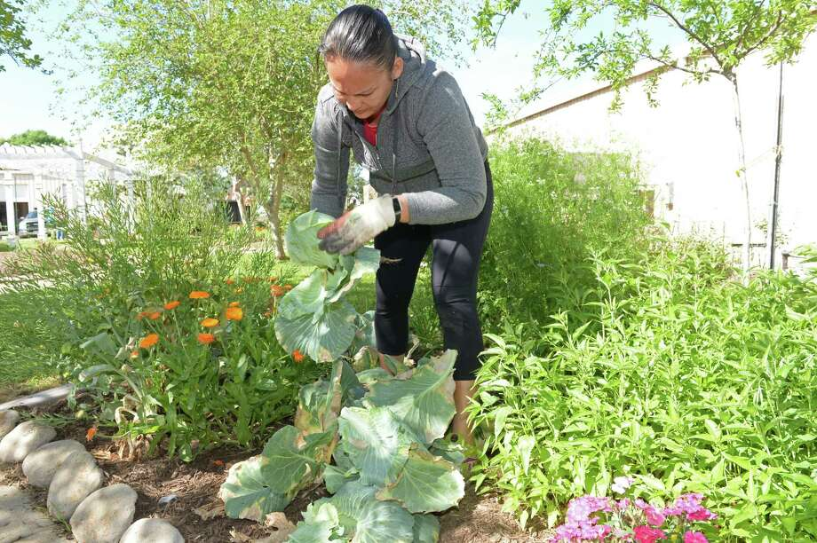 Fabiola Dixon tends to cabbages in the Fort Bend County Master Gardeners' Demonstration Gardens in Rosenberg on Wednesday, March 21. Photo: Craig Moseley, Staff / ©2018 Houston Chronicle