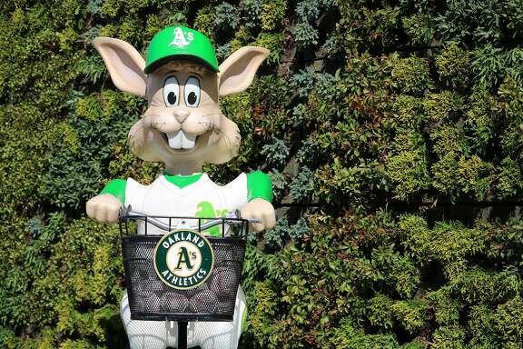 Harvey the Rabbit, brought back for the A�s 50th anniversary in Oakland, will debut Friday night at the Coliseum. Photo courtesy Oakland Athletics