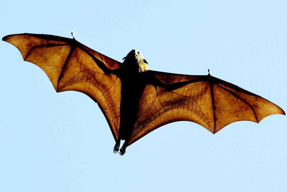 the la portepasadena area is home to bats including mexican free tailed bats - Images Of Bats 2