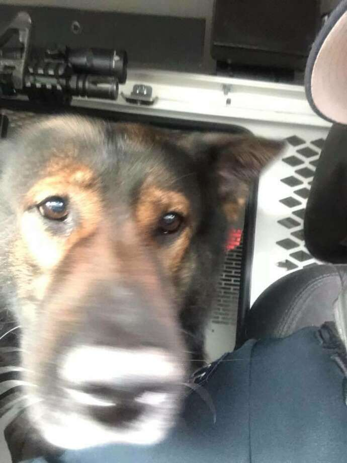 A man accuses Kent Police Department tracking dog Kato of wrongfully biting him in the arm during a search for a suspect. Photo: Twitter/Kent Police Department