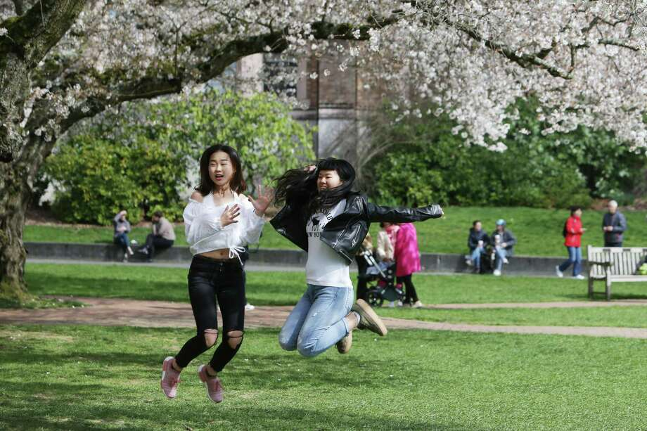 Thousands enjoy the blossoming Yoshino cherry trees on the UW quad, March, 19, 2018. Photo: GENNA MARTIN,  SEATTLEPI.COM / Other